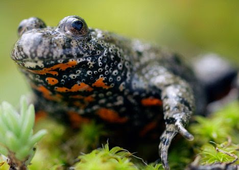 Opposite effect: Secretion from the Giant Firebellied Toad stimulates blood vessel growth - making it useful for wound healing, organ transplants, diabetic ulcers and damage caused by strokes