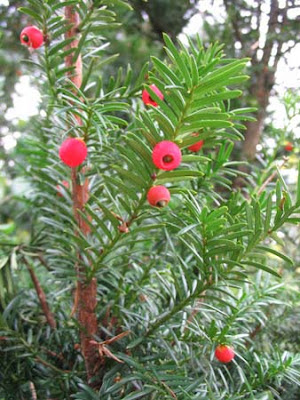 тисс ягодный, тис ягодный, дерево тис, применение в медицине, лекарственные растения