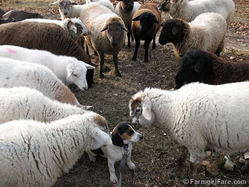 Meet the Sheep Day 12