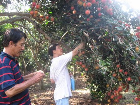 Chôm chôm bị bỏ chín khô do giá bán quá thấp tại Đồng Nai.