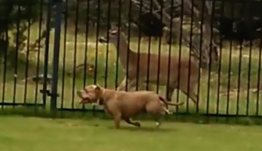 This Unbelievably Funny Moment Between A Pit Bull And A Deer Was Caught On Video. A MUST SEE!