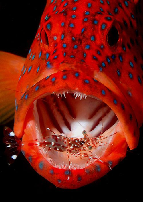 coral trout and cleaning shrimp from bsoup splash-in 2005