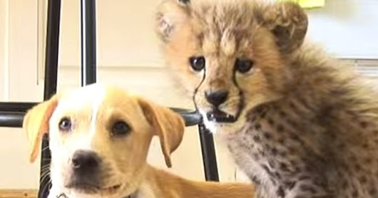Meet this cheetah and dog pair. They're best buddies