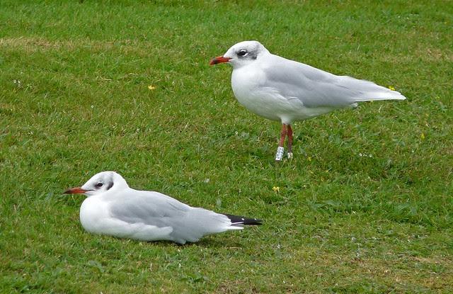 25033 - Mediterranean Gull (3K80), Bracelet Bay