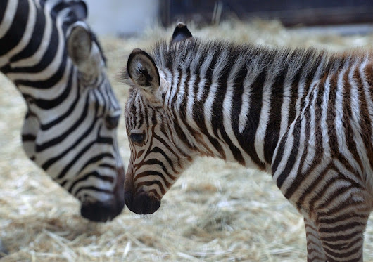 What zebras and their mysterious stripes can teach innovators