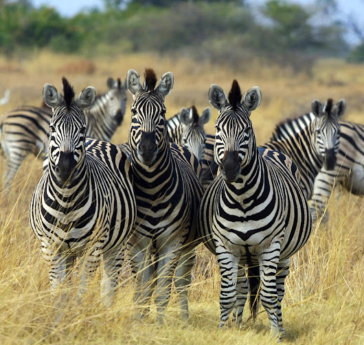 Black and White : Approach Zebras with Caution - Heather Erickson