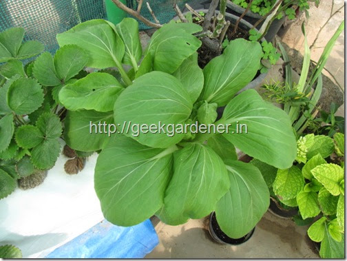 Growing Bok Choy In Containers Commercial Hydroponics Farming