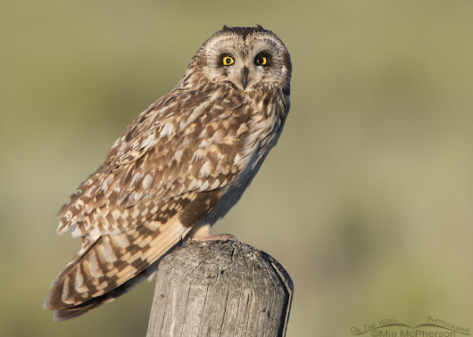 Short-eared Owl - Comparing Early to Mid Morning Light On My Subject
