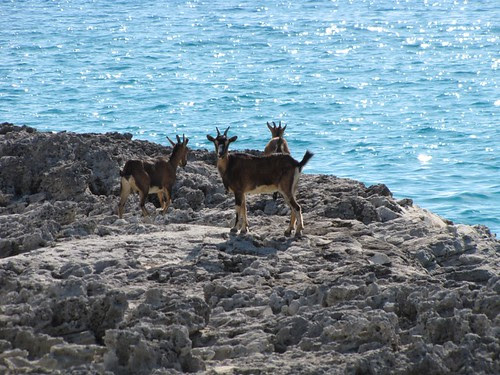 Feral Goats (Inagua: Day 1)