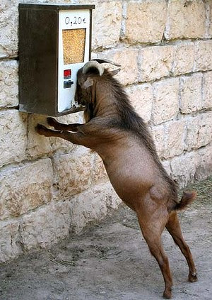 Cleverer than you think: A mountain goat tries to eat grains of corn in a vending machine ata French zoo.