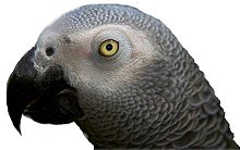 Papagaio Sancho