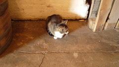 cantillon cat