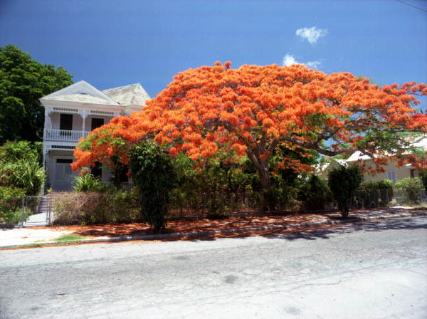 View of Royal Poinciana tree in front of Victorian style conch house on Southard Street - Key West, Florida