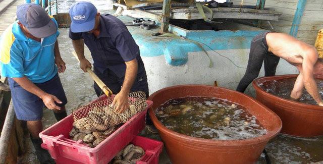 Pepinos de mar capturados por los trabajadores de la Empresa Pesquera Industrial La Coloma, en Pinar del Río, Cuba, 1 de abril de 2019.   ACN   FOTO/Evelyn CORBILLÓN DÍAZ