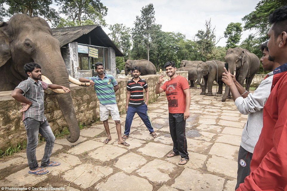 Another set of visitors pose for a photograph in front of a herd of shackled elephants at the camp in Karnataka, southern India