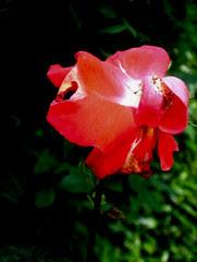 rose, 24 juin 2005