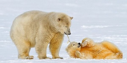 Petition: Ask Canada to Stop Hunting the Endangered Polar Bear