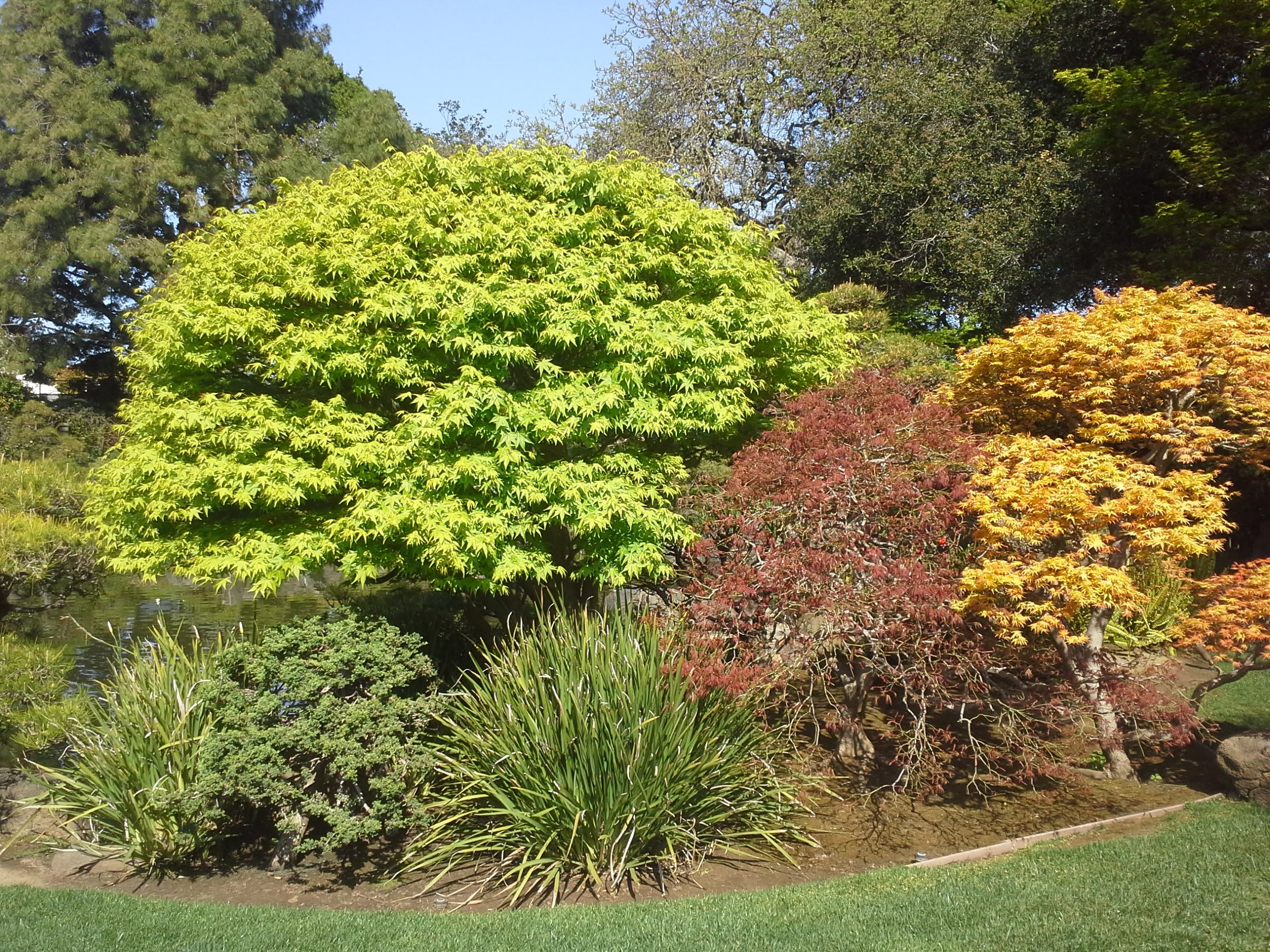 How To Grow Japanese Maple Trees Growing Japanese Maple Trees