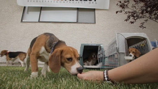 Beagle Puppies Get a Second Chance