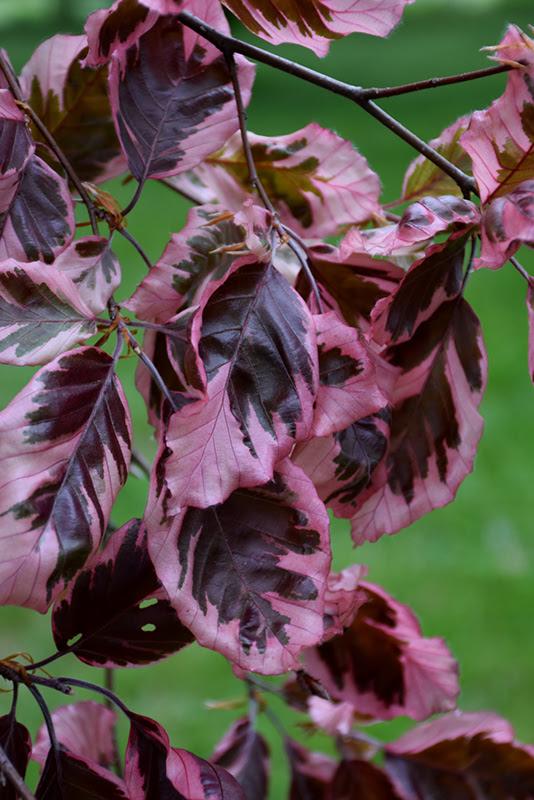 Tricolor Beech Fagus Sylvatica Roseomarginata In Fort Wayne