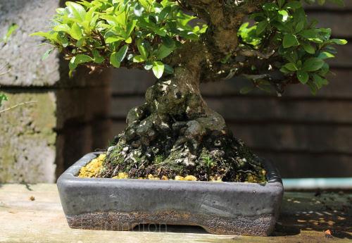 Satsuki Azalea bonsai roots