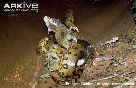 Green anaconda photo   Eunectes murinus   G59104   Arkive
