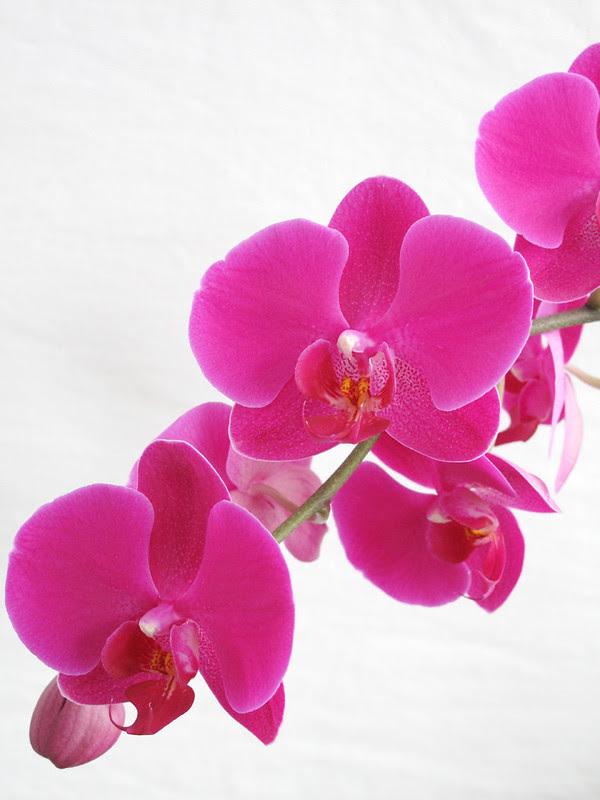 Orchidea4