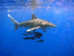 Ένας ωκεάνιος λευκοπτέρυγος καρχαρίας