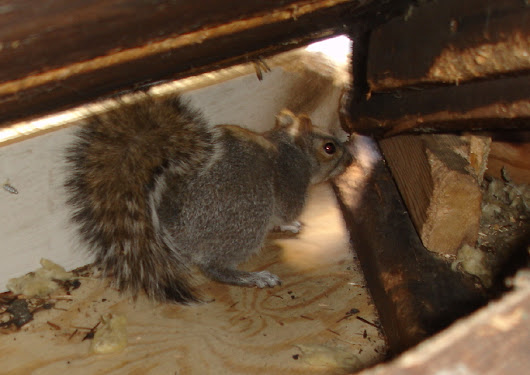 How to Keep Squirrels Away From Your Attic