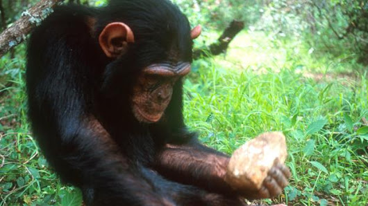 Chimpanzees and monkeys have entered the Stone Age