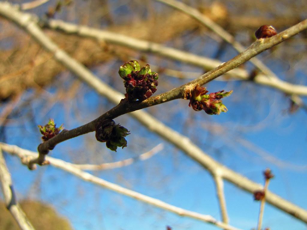 Elm Leaf Bud