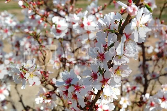 Almond Flowers [enlarge]