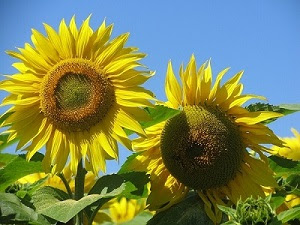 Summer sunflowers against a blue sky
