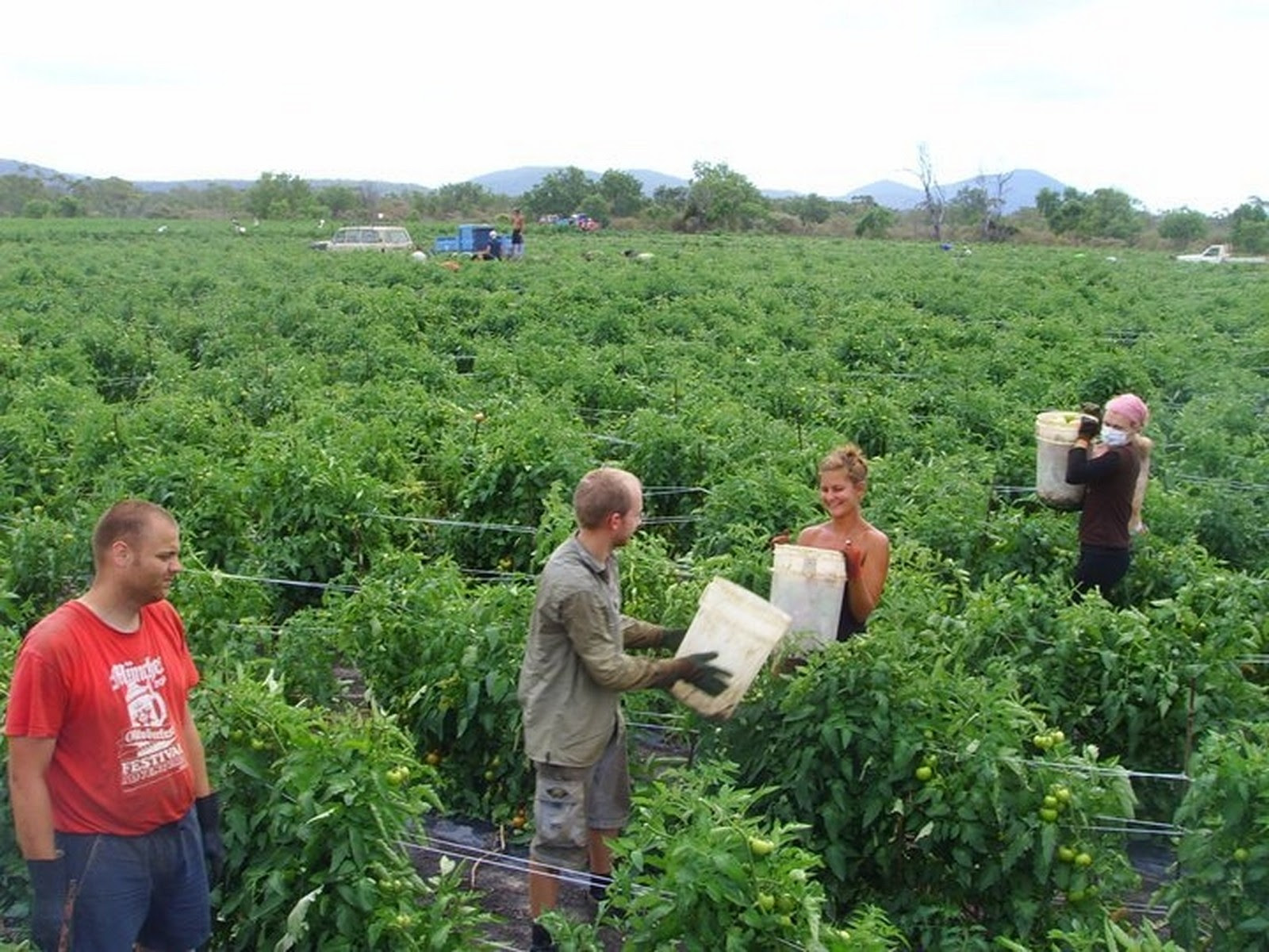 Image result for Tomato Picker Job Vacancy In Canada