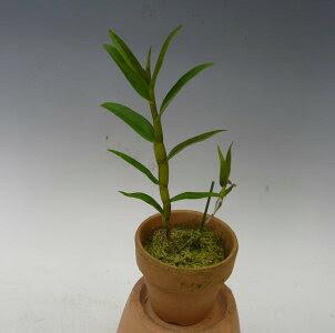 デンドロビュームクリソグロッサムDen.chrysoglossum