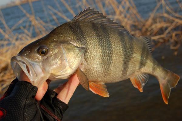 Календарь рыболова на ноябрь 2015, календарь рыбака ноябрь 2015, календарь клева рыбы ноябрь 2015, клев рыбы в ноябре, лунный календарь рыболова на ноябрь 2015, какая рыба клюет в ноябре, ловля щуки в ноябре, ловля окуня в ноябре, ловля налима в ноябре, ловля судака в ноябре, ловля рыбы в ноябре, как ловить рыбу в ноябре, рыбалка в ноябре, подледный лов в ноябре