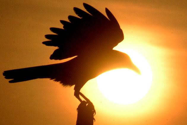 Corbeau.oiseau2.930.620_scalewidth_630