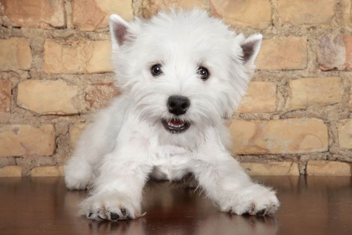 Cute and adorable Westie Puppies for sale in Montana USA