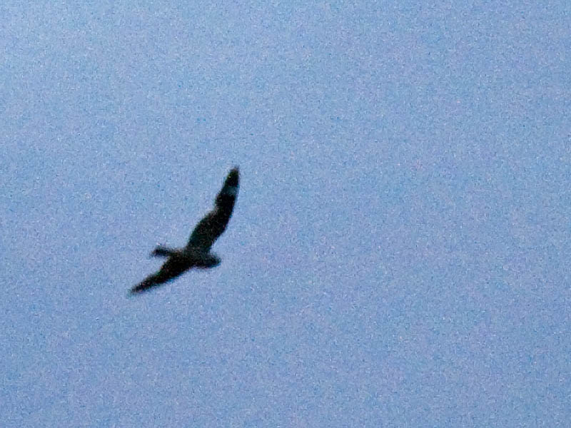 Lesser Nighthawk at dusk