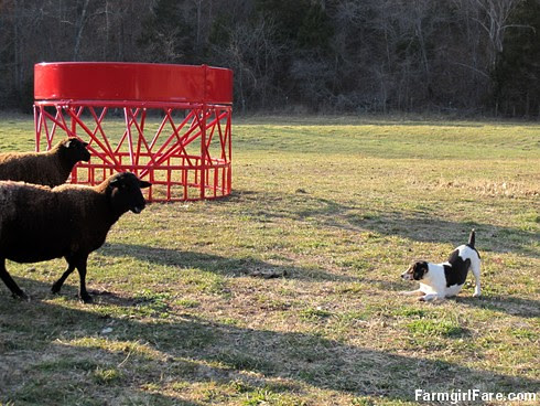 Sheep vs beagle (3) - FarmgirlFare.com