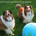 Lassiter Chase and Benjamin - Lassiter Chase and Benjamin the Shelties