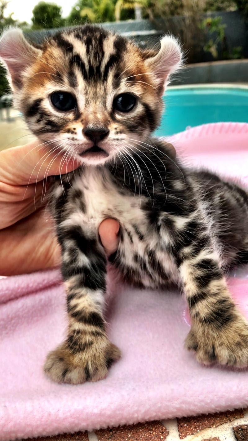 Domestic Wild Cats - 🍀 MARCH 🍀 2019 Please Email for ...