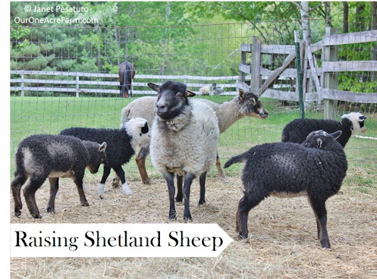Raising Shetland Sheep: Guide to Starting a Flock - One Acre Farm