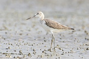 Common Greenshank (Tringa nebularia), Laem Pha...