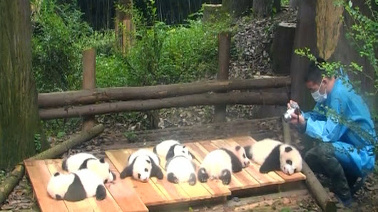 Baby panda bears filmed sunbathing and learning to climb