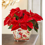 Holiday Traditions Poinsettia, Large - by 1-800 Flowers
