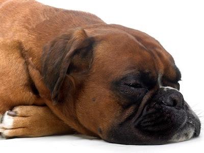 El Moquillo en el Perro y sus cuidados