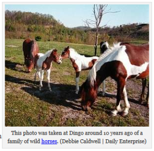 Dingo Horses