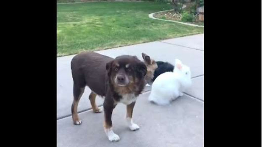 Dog Photobombs Bunnies Intentionally