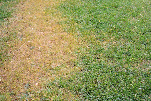 What is Brown Patch Lawn Disease?